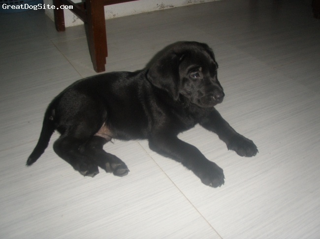 Labrador Retriever, 2months, black, a wedding gift from Sonyu. 