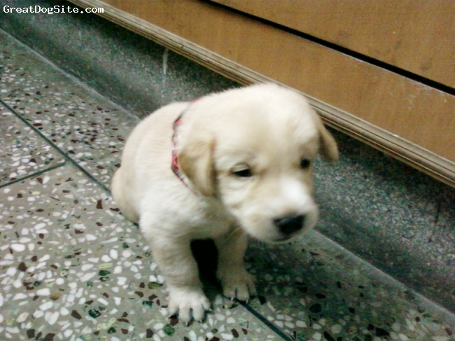 Labrador Retriever, 2.5 weeks, yellow, noddy is 2.5 weeks old. very energetic, enthusiastic, playful, and offcourse intelligent too