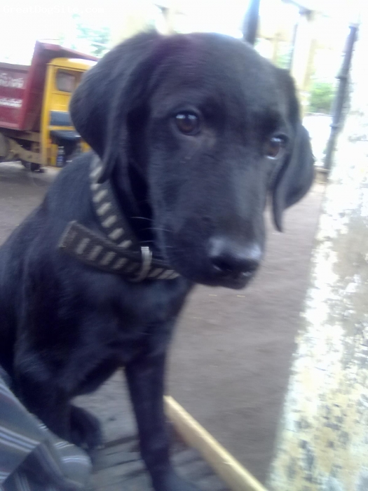 Labrador Retriever, 3month, black, this is goad dog