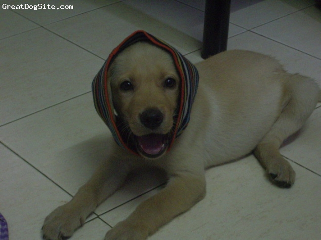 Labrador Retriever, 9 months, fawn, when he was all of 2 months....