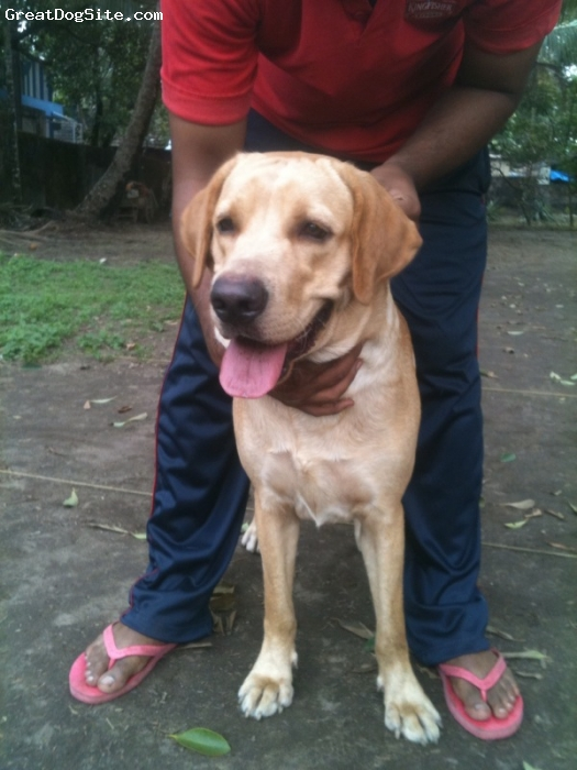 Labrador Retriever, 1 year, Yellow, Quite Happy