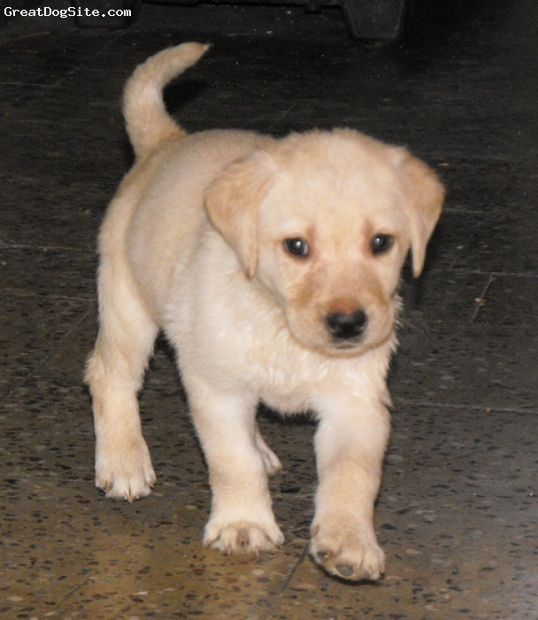 Labrador Retriever, 7 week, yellow, highly energitic and intelligent