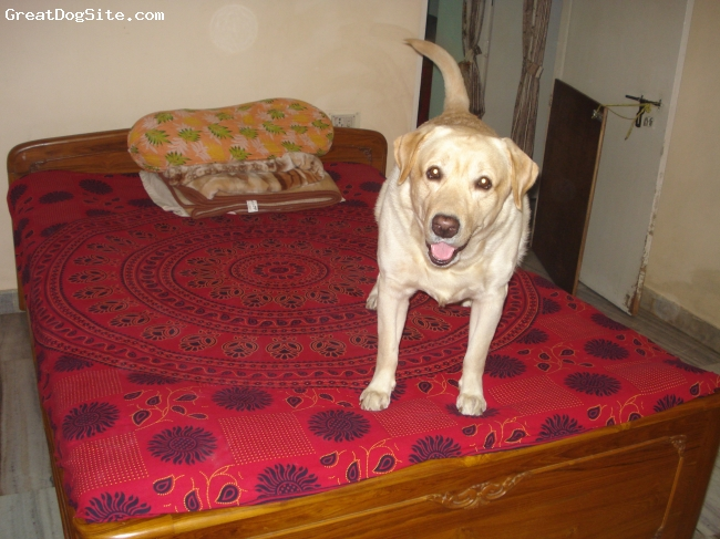 Labrador Retriever, 3 yrs, Fawn, He produces excellent litters. My handsome and smart boy.