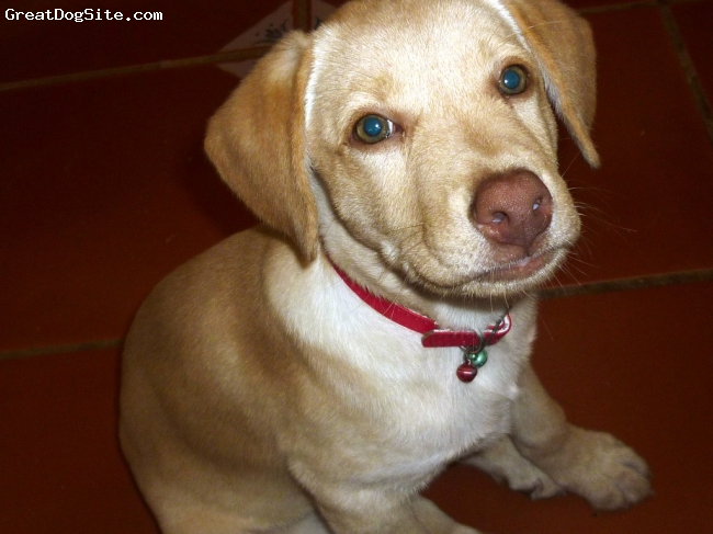 Labrador Retriever, 2 months (dos meses), yellow (amarillo), She weights 5,5 kgr.