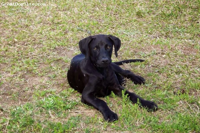 Labrador Retriever, 6mo, Black, Labrador retriever/min pin