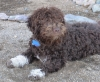 Lagotto Romagnolo, 1, brown