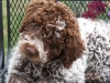 Lagotto Romagnolo, 6  months, Brown Roan