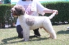 Lagotto Romagnolo, 3 years, White-Brown