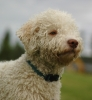 Lagotto Romagnolo, 1 year, White