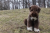 Lagotto Romagnolo, 6 months, brown and white