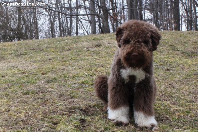 Lagotto Romagnolo, 6 months, brown and white, Wonderful, happy, healthy puppy from Terra Incognito kennel