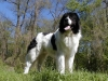 Landseer Newfoundland, 6, white and black