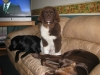 Landseer Newfoundland, 4 and 5 months, Brown and White