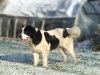 Landseer Newfoundland, 2,5 years, White and black