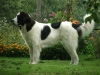 Landseer Newfoundland, 3,5 years, White and black