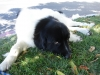 Landseer Newfoundland, 3, black and white