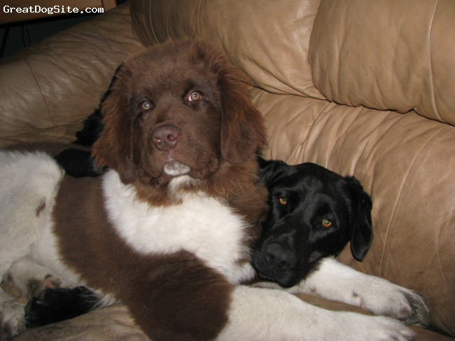 Landseer Newfoundland, 4 and 5 months, Brown and White, Maui and her sister