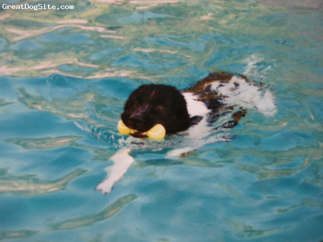 A photo of a 3 old, black and white, Landseer Newfoundland ... Newfoundland Swimming