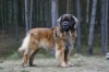 Leonberger, 4,5, red