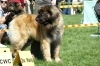 Leonberger, 2, red