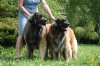 Leonberger, 5 year, gold