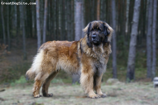 Leonberger, 4,5, red, A very nice, big male.