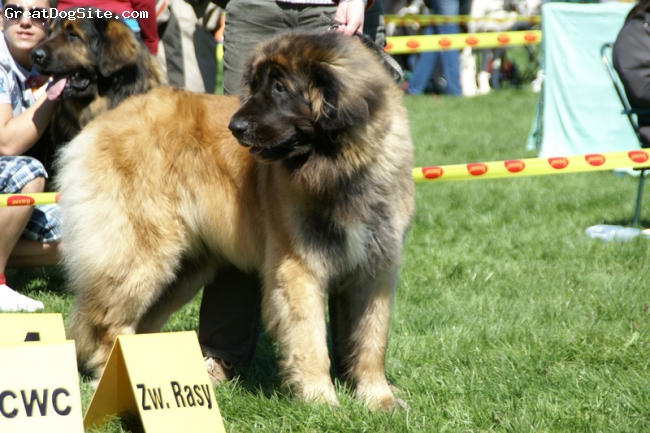 Leonberger, 2, red, 2-year-old female.