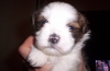 Lhasa Apso, 7 weeks, white multi