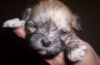 Lhasa Apso, 7 weeks, Brindle