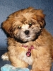 Lhasa Apso, 3 months, Golden with black mask