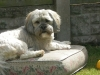Lhasa Apso, 2 years, cream
