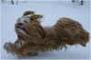 Lhasa Apso, 1,3 year, red