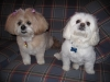 Lhasa Apso, 15 and 16.5, Tan with black/white