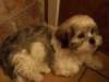 Lhasa Apso, 3 months, White with Gray Markings