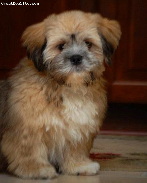 Lhasa Apso, 7 months, multi, Buster is a wonderful little guy! Definately a mama's boy :o)