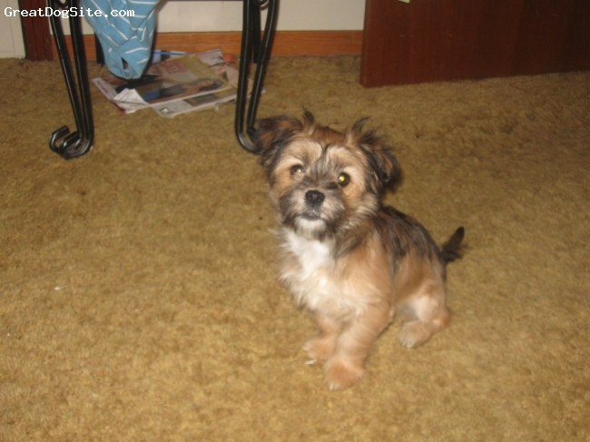 Lhasa Apso, 8 months, tan, brown and white, Lovable