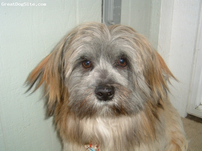 Lhasa Apso, 2 years, golden, He is very friendly, to cats and dogs and people, but not rodents.