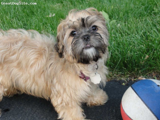 Lhasa Apso, 4 months, Golden, Very friendly and playful, lpves everyone