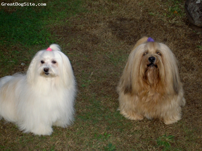 Lhasa Apso, 18, gold, Bart is my Lhaso Apso & Annie was Maltese. She passed away last year at the age of 17