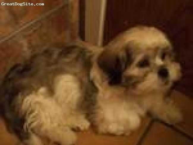 Lhasa Apso, 3 months, White with Gray Markings, Puppy cut