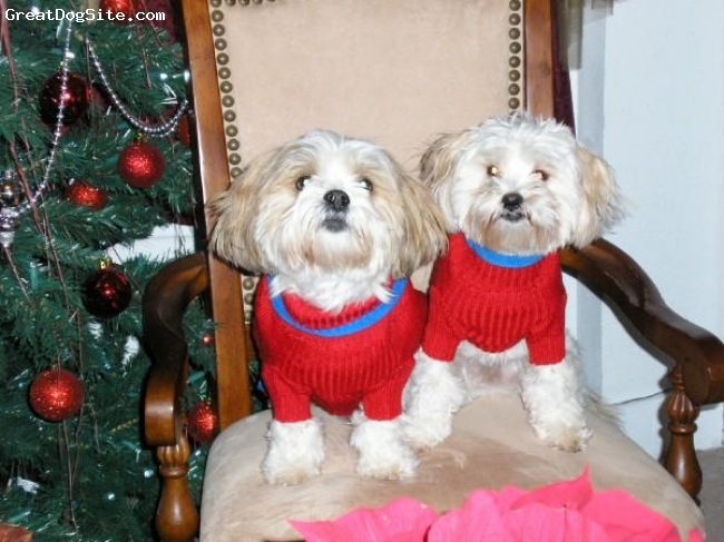 Lhasa Apso, 6 years old, white and brown, They r the love of r lives.... V. family...