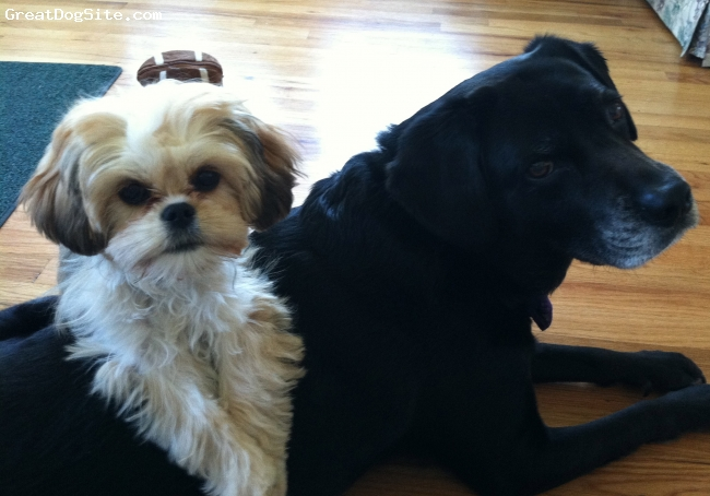 Lhasa Apso, 5 months, Blonde, Coco with my black lab - best of friends.  CoCo is a hybrid Llasalier
