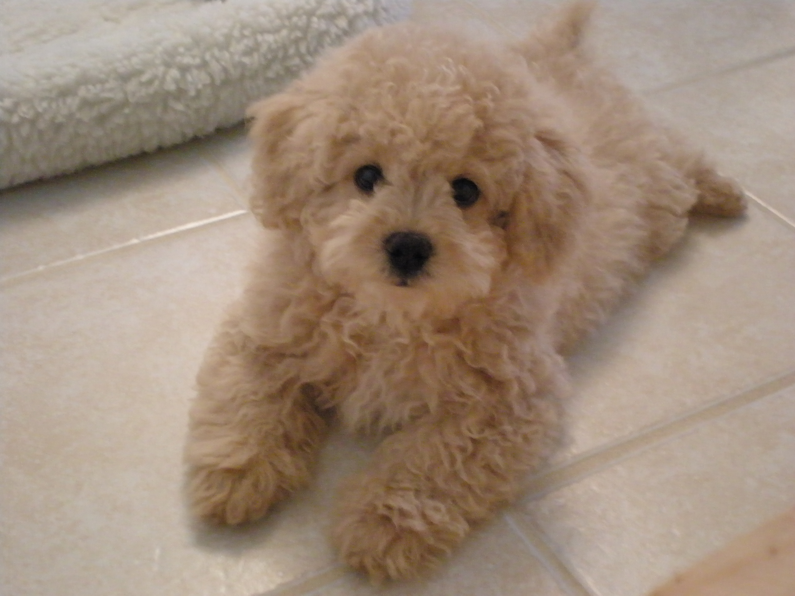 Lhasa-Poo Question and Answer Lhasa-Poo Photos Lhasa-Poo Breeders ...