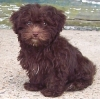 Lhasa-Poo, Unknown, Brown