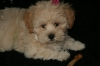 Lhasa-Poo, 9 weeks, cream