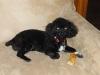 Lhasa-Poo, 9 months, black