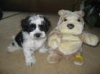 Lhasa-Poo, 8 weeks, black and white