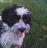 Lhasa-Poo, 2 years old, black & gray