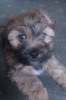 Lhasa-Poo, 11 Weeks, Multi