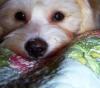 Lhasa-Poo, 6 Months, White/Tan Spots